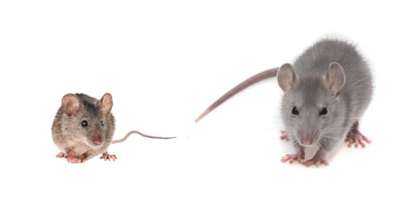 Infestation de Rats ou de Souris ?